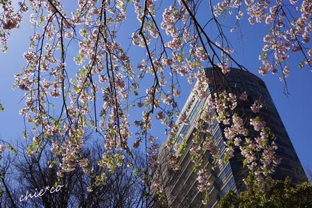 山下公園のしだれ桜-019