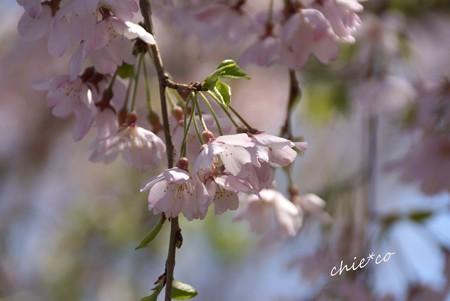 山下公園のしだれ桜-064