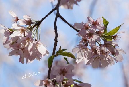 山下公園のしだれ桜-078