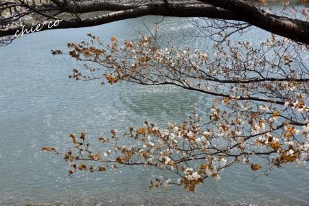 みなとみらい桜景色-023