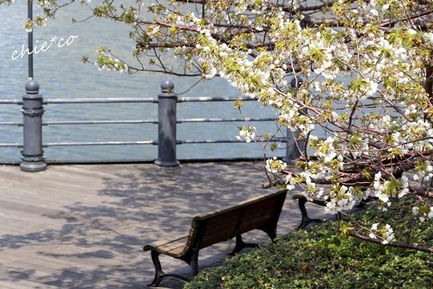 みなとみらい桜景色-033