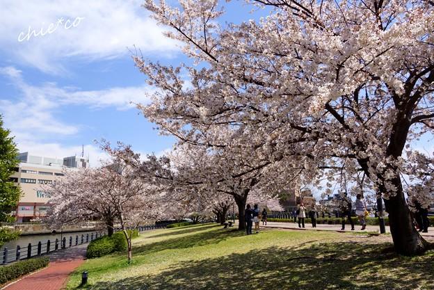 みなとみらい桜景色-049