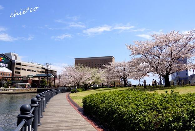 みなとみらい桜景色-055