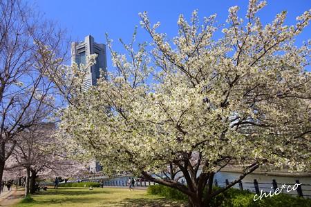 みなとみらい桜景色-072