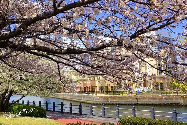 みなとみらい桜景色-077