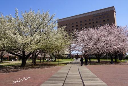 みなとみらい桜景色-084