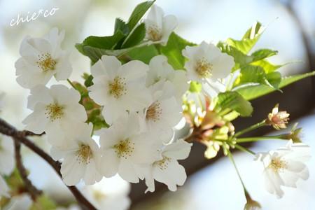 みなとみらい桜景色-082