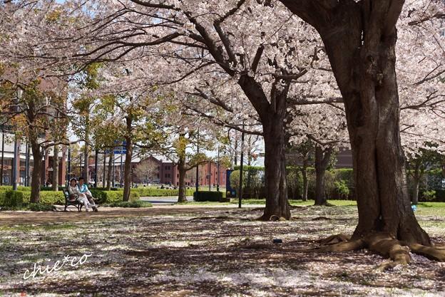 みなとみらい桜景色-086