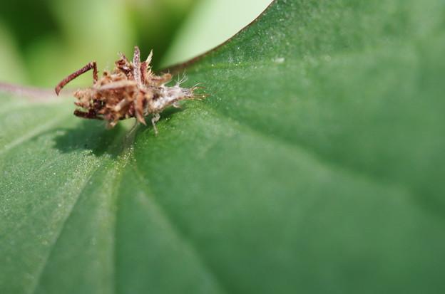 クサカゲロウの幼虫1