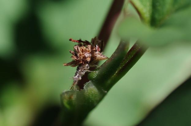 クサカゲロウの幼虫2smc PENTAX-D FA MACRO 100mmF2.8 WR IMGP0036