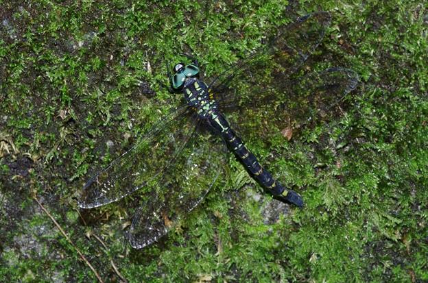 ヤブヤンマと判明。菫色のぬこさん有難うございます。湿った苔に産卵する?ヤンマ