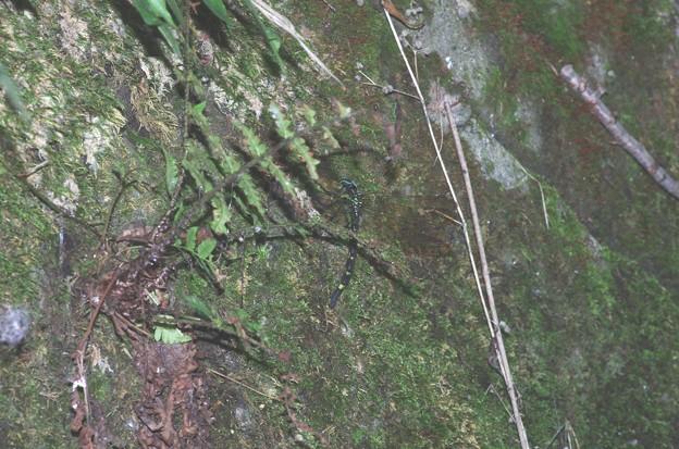 湿った苔に産卵するヤブヤンマ