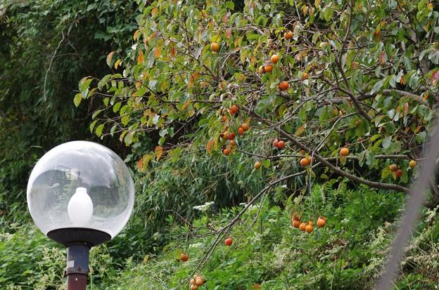 街路灯と柿