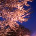 写真: 夜桜~。さすがに今年の桜も...