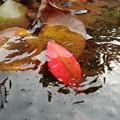 氷中の木の葉