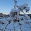 Photos: 雪草
