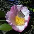 生垣の山茶花