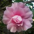 生垣の山茶花  ピンク