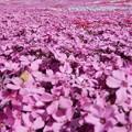 明宝の芝桜 ?