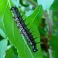 ヒオドシチョウの終齢幼虫