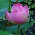 大きな蓮の花が・・・