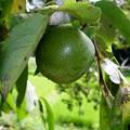 丸い小さな渋柿