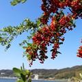 湖畔の橘モドキ(ピラカンサ)