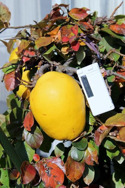 大きな花梨の実