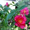 山茶花の花も・・・
