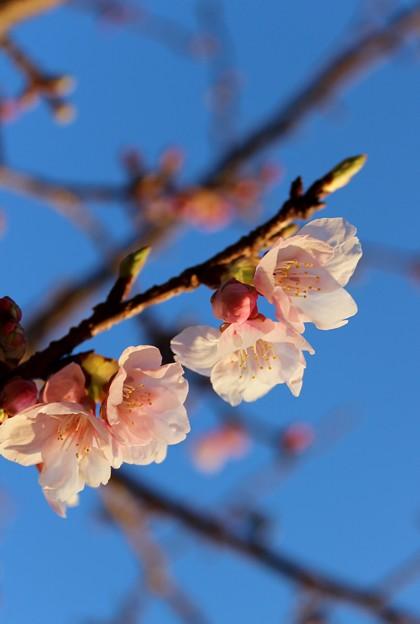 写真: 帰りに桜も見つけました。