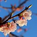 帰りに桜も見つけました。