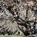 写真: 長楽寺の梅のトンネルです。