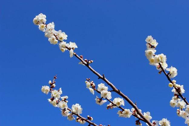 青いお空に白い梅