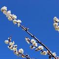 写真: 青いお空に白い梅