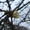 Photos: お待たせ冬至梅