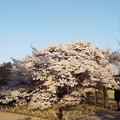 写真: 満開の二季咲桜