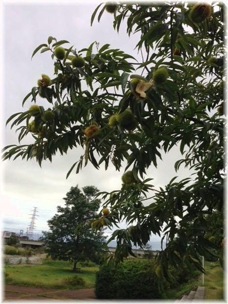 松川土手の栗の木