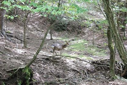 えびの高原の野性鹿