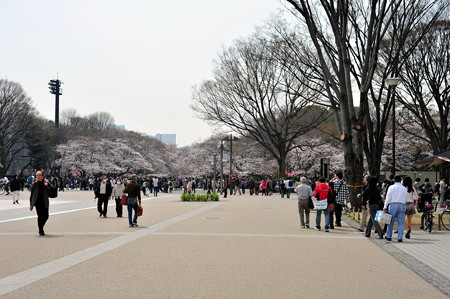 上野公園の桜はもう盛り上がっても良いレベル