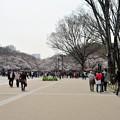 写真: 上野公園の桜はもう盛り上がっても良いレベル