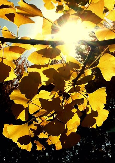 銀杏、光と陰♪