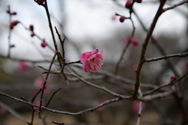 梅咲きはじめ2月6日
