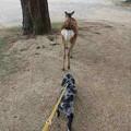 Photos: 鹿の後を付いて歩く春馬