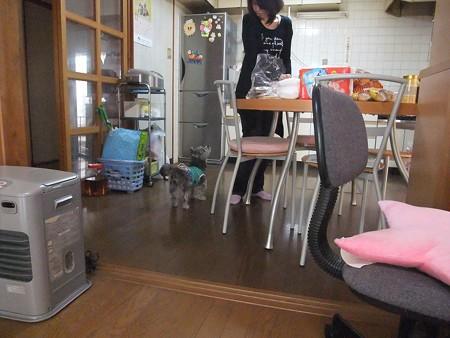 里親さんが台所に立つとちゃっかり付いて行くシンバ