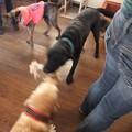 Photos: 大型犬同士の引っ張りあい