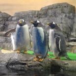 企鵝(ペンギン)さん