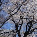 Photos: 桜越しの天守閣