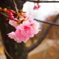 Photos: 少し早めの桜
