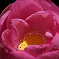 Photos: 蓮の花を覗く!