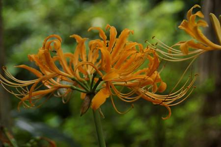 オレンジ色のリコリス!